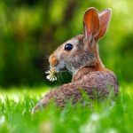 Grooming Your Lionhead Rabbit