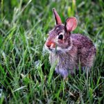 Caring for Your Lionhead Rabbit