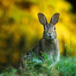 Lionhead Rabbit Requirements