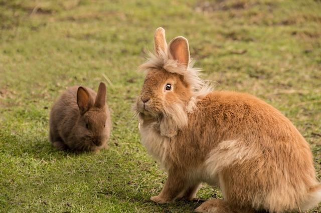 Meeting Your Lionhead Rabbit's Nutritional Needs